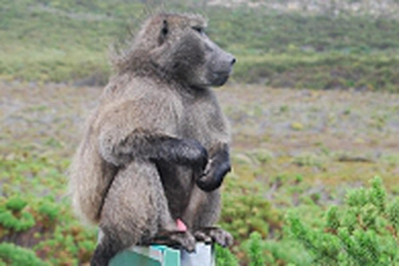 Le babouin, plus grand délinquant du Zimbabwe