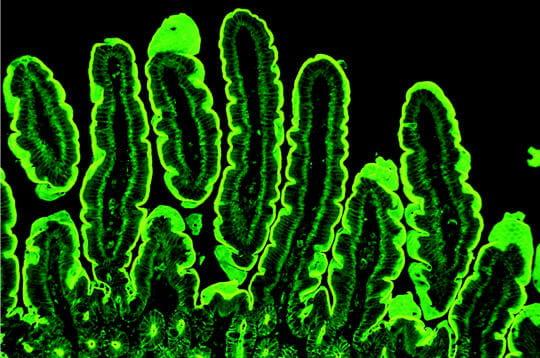 Cellules de souris