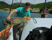 Allez savoir... : En Martinique, les tortues se cachent pour grandir