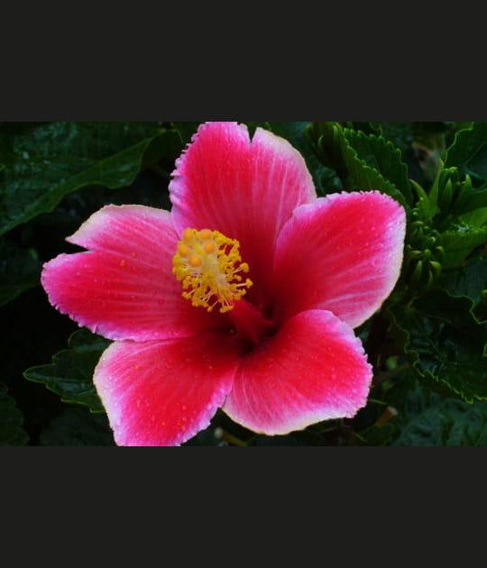 Fleur typiquement mauricienne