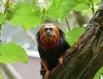 Le roi des singes d'Ethiopie