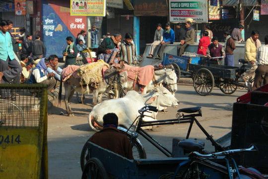 Les vaches de Old Delhi