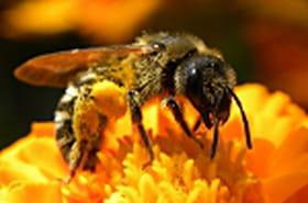 Une nouvelle piste pour résoudre le mystère de la disparition des abeilles