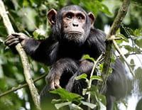 Indonésie sauvage : Congo : le royaume de King Kong