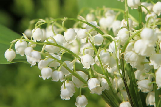Muguet plante porte bonheur ou plante toxique infos photos - Plante d interieur porte bonheur ...