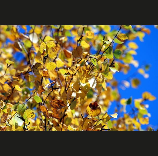 Feuilles jaunes sur fond de ciel bleu
