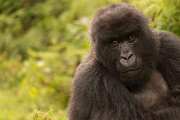 Le parc national des volcans au Rwanda