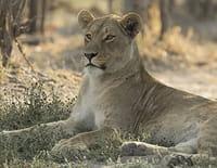 Le royaume sauvage : La mère des lions