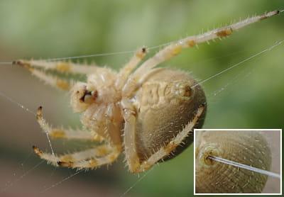 une araignée en train de faire de la soie. en gros plan, on peut voir les