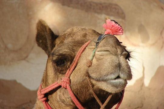 La coquetterie du chameau