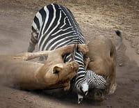 Les animaux déraillent : Opération mortelle