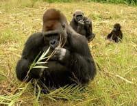 Ushuaïa nature : Retour vers la planète des singes : Afrique équatoriale