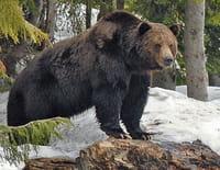 Humanima : Au pays des grizzlis
