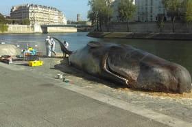 Cachalot échoué à Paris: des images bluffantes au bord de la Seine
