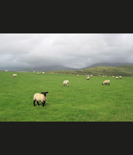 Moutons dans la brume