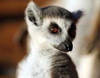 Bandes de lémuriens : Attention poison