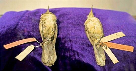 Oiseaux-moqueurs