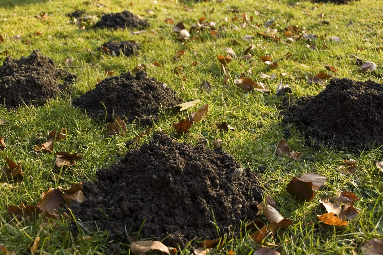 Taupe: comment repousser les taupes, les éliminer de son jardin