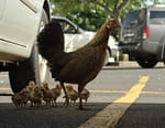 La planète des poules