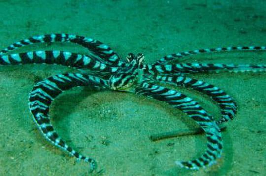 L'incroyable métamorphose de la pieuvre mimétique
