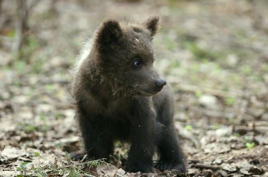 Opération sauvetage des bébés ours