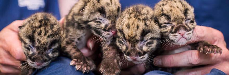 Quatre adorables bébés léopards sont nés au zoo de Washington