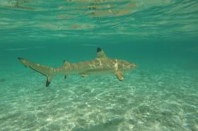Requin griset: les images impressionnantes du squale en Floride