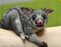 La guerre des opossums
