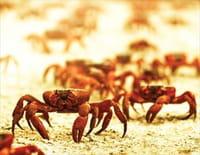 Migration sauvage : Le crabe de l'île Christmas