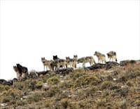 Le retour des loups : Une chance pour le parc de Yellowstone