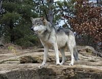 Suprême Animal : Le cochon, le loup et le corbeau