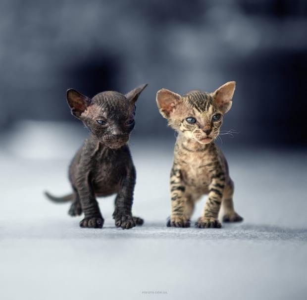 Tandem de chatons