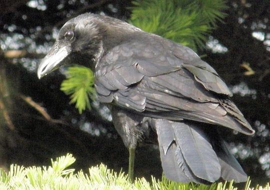 Le corbeau, maître des lieux
